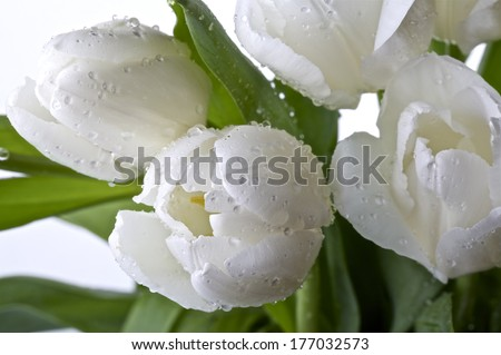 White tulips with dew drops on a light background