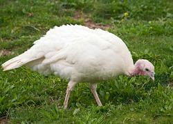White Turkey hen walking on a grass.