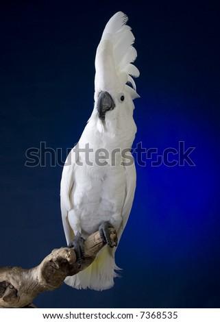 White Cockatoo - Wikipedia, the free encyclopedia