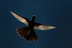 White-vented plumeleteer hovering in  air,tropical rainforest, Colombia,beautiful hummingbird with outstretched wings in back light,exotic birding adventure, bird isolated silhouette,clear background