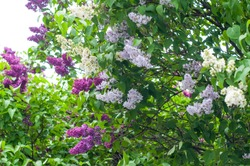 White, violet and purple branches of lilac in a spring park. Lilac bushes in bloom. Garden flowers.