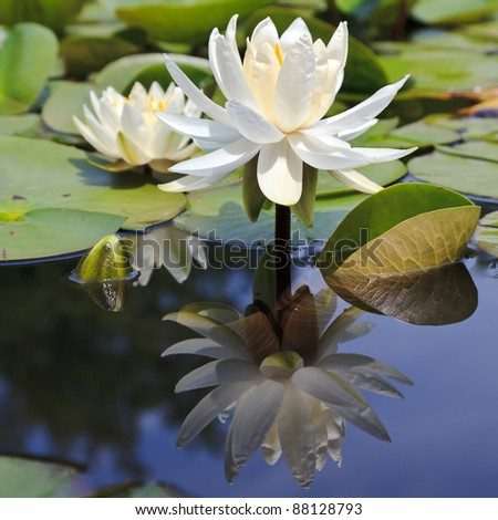 white virgin lotus flower with reflection in still pond water lily