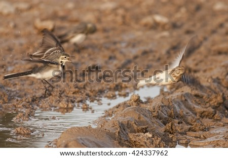 White Wagtail #424337962