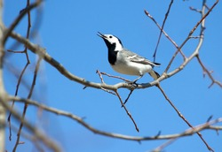 White wagtail bird sits on tree branch and sings over cloudless blue sky in spring