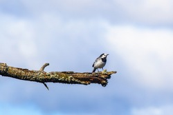 White wagtail on a tree branch against the sky