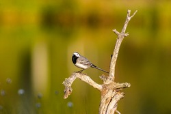 White wagtail on an old gnarly tree