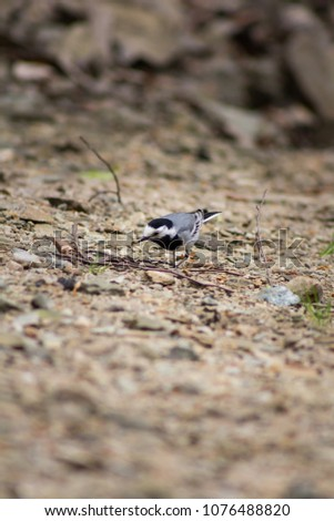 White wagtail - Scientific name: Motacilla alba - is a small passerine bird in the family Motacillidae. Bird on a brawn background  #1076488820