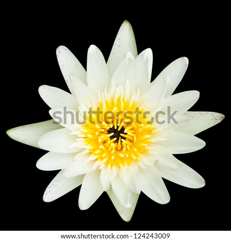 White water lilly isolated on black background,with clipping path