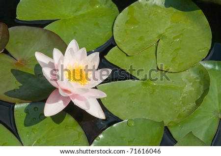 White water lily and green leaves on a lake