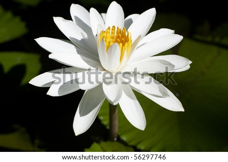 White water lily blossom on dark background.