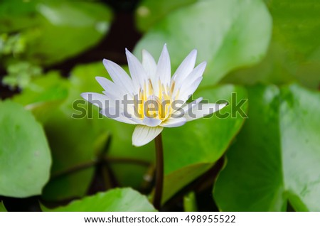 White water lily flower and green leave #498955522