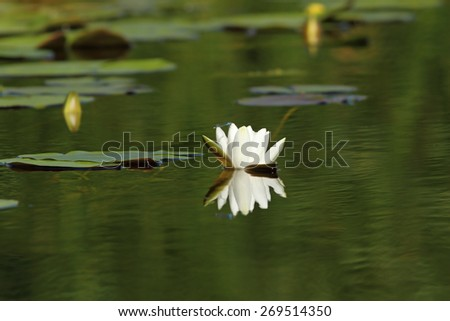 white water lily flower, image taken in Danube Delta on wild plant