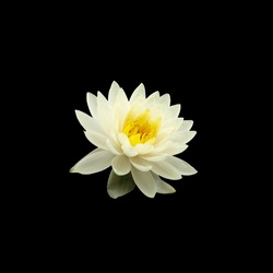 white water lily isolated on black background