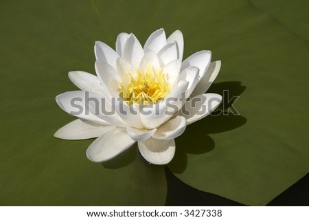 white water lily (Nymphaea alba) in bloom on the lake