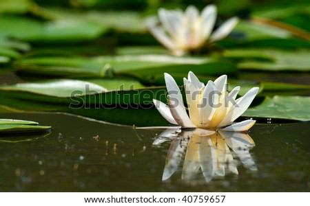 white water lily on the lake (Nymphaea alba)