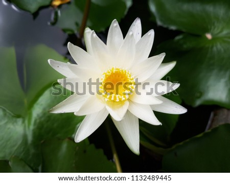 White Waterlilly  on the green leaves . Close up blossom Lotus in the garden.