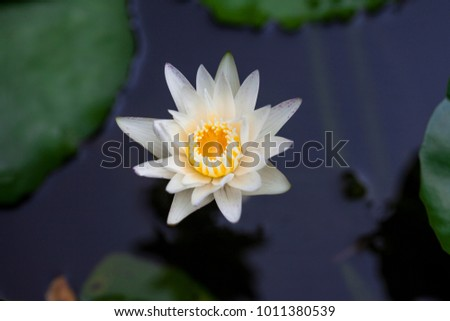 white waterlily in pond.