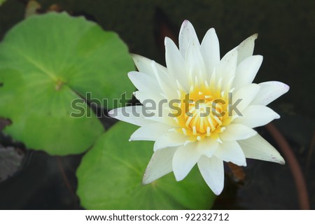 White waterlily is blooming with soft sunlight - stock photo