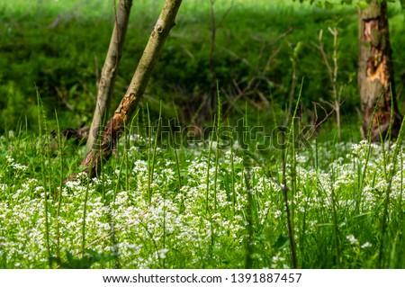 white wetland flowers in a boggy forest near Neundorf a.d. Eigen, Saxony/Germany
