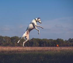 White whippet dogs jumps very high with orange ball