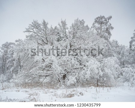 White wide deciduous tre bent by snow mass in the dark and cold winter forest. Deciduous and coniferous trees. Overcast weather. Beautiful winter landscape (Central Russia)
