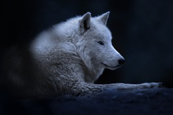 white wild artctic wolf in national park