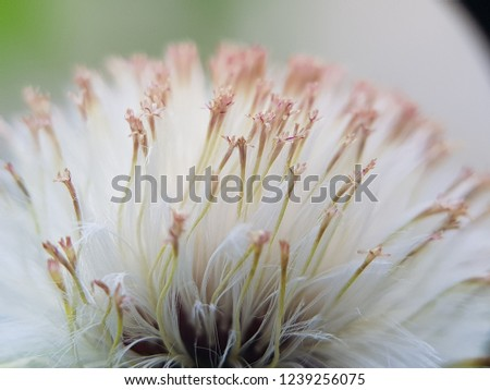 White wild dandelion grow in Sumatra. Colored white and touch of red pollen. Macro picture of a dandelion.