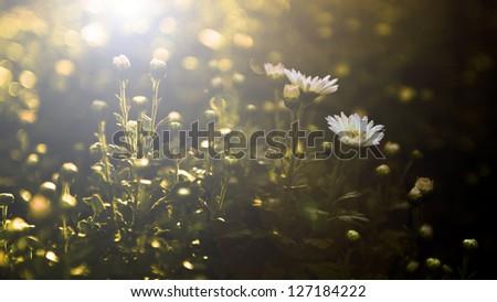White wild flowers in sunset #127184222