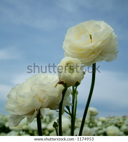 """White Wild Flowers with """"first signs of aging"""""""