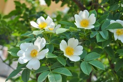 White Wild rose flower aka Rosa acicularis or prickly wild rose or prickly rose or bristly rose or Arctic rose or Rosa canina flower