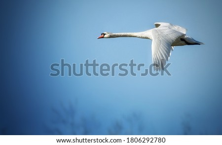 White wild Swan in flight before a long and long-distance flight to winter Photo stock ©