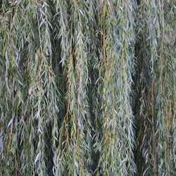 White willow tree (salix alba) branches, large detailed vertical textured foliage pattern closeup, green branch texture in detail, salicin concept