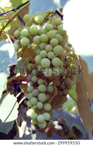 white wine grapes hanging on the wine