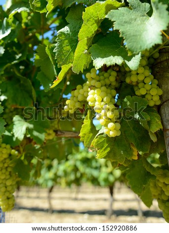 white wine grapes in a french vineyard ready to pick