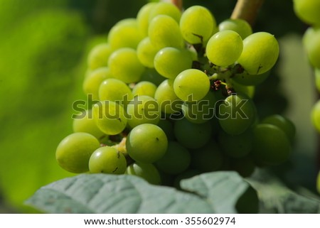 White wine grapes in vineyard on a sunny day #355602974