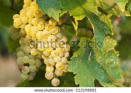 White wine grapes on a vine