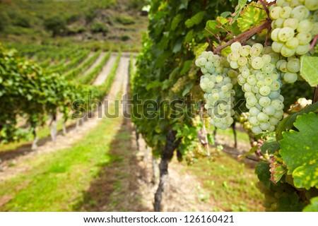 White wine Riesling grapes in German vineyard in autumn