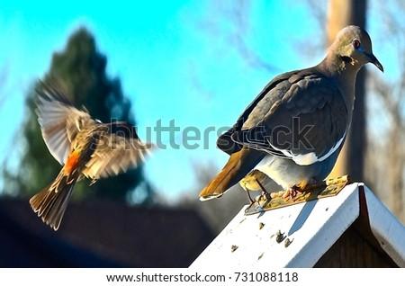 White-winged Dove #731088118