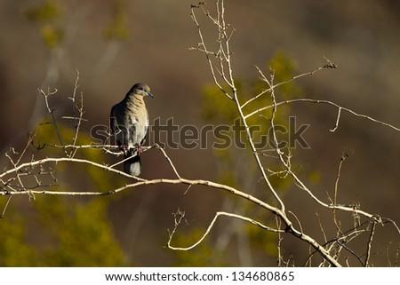 White-winged Dove at dawn at Anza-Borrego State Park in  California