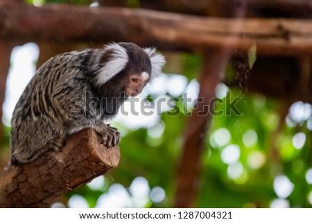 White winged marmoset, tiny monkey