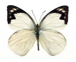 White wings butterfly with black marginal markings on white background isolated
