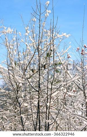 white winter trees #366322946