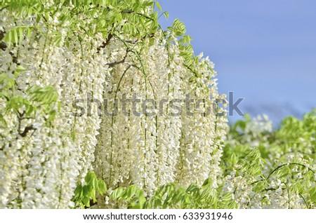 White wisteria flower in Ashikaga Flower Park of Japan.