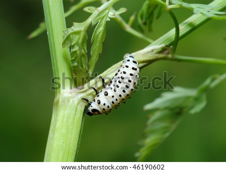 white with black dots larvae of Poplar Leaf Beetle Chrysomela populi on the plant.