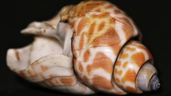 White with orange splotches colored of Seashell Decoration on a dark background