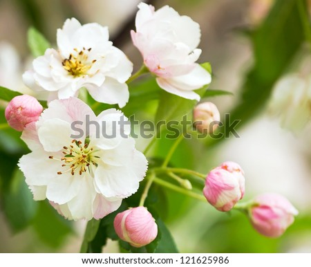 White with pink flowers of the cherry blossoms on a spring day in the park