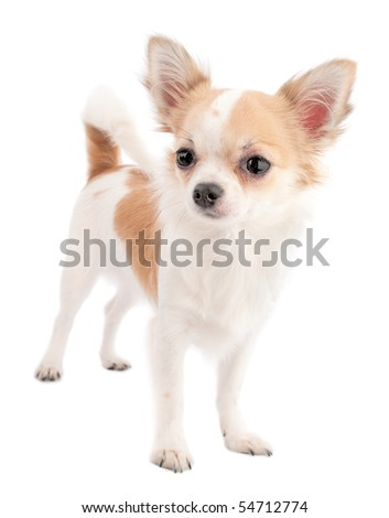 white with red chihuahua standing isolated on white background