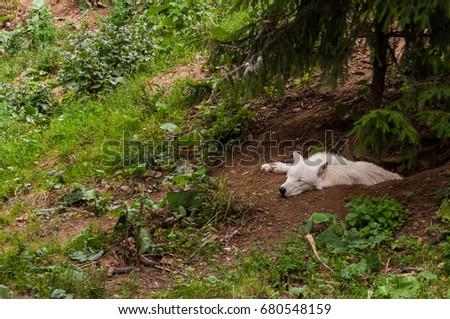 White wolf #680548159