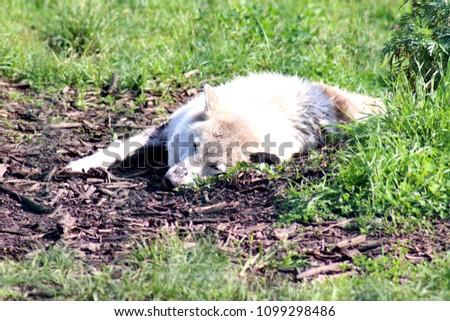 white wolf asleep on the grass #1099298486