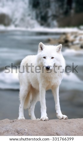 White wolf on the winter river #331766399